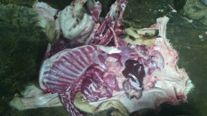 penyembelihan kambing aqiqah