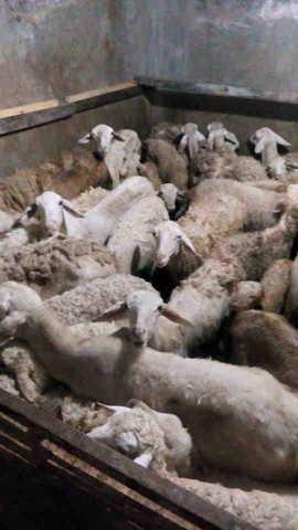Jual kambing murah untuk aqiqah dan qurban