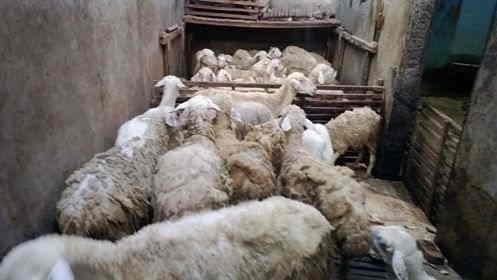 Paket kambing aqiqah lengkap dan tersedia