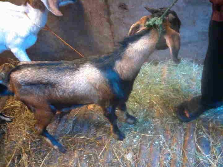 Qurban dan aqiqah dengan kambing berkualitas