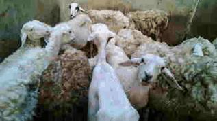 Harga hewan Aqiqah
