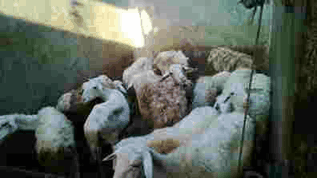 Domba akikah sesuai aturan dalam islam