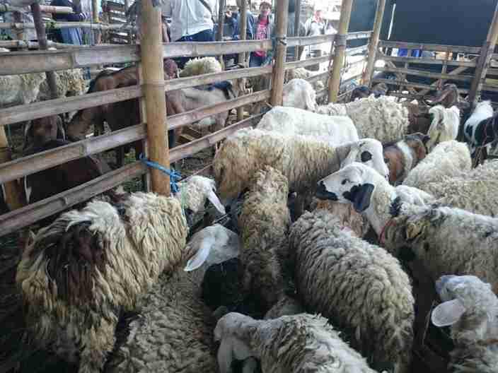 Jual hewan qurban Solo 2018 mulai harga Rp 1.500.000,